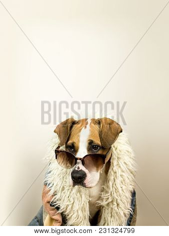 Funny Staffordshire Terrier Dog Portrait In Sunglasses And Hippy Coat. Studio Photo Of Pitbull Terri