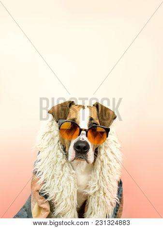 Funny Staffordshire Terrier Dog Portrait In Sunglasses And Hippy Coat. Studio Photo Of Pitbull Terri