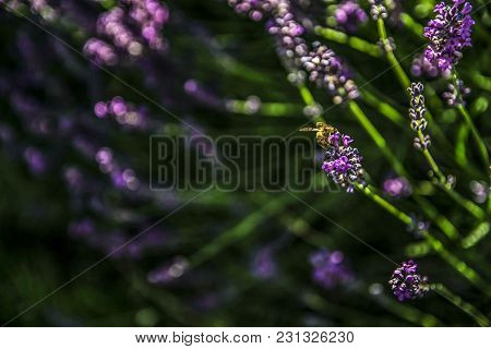 Lavender Flowers In A Natural Light And Bee Collecting Nectar.