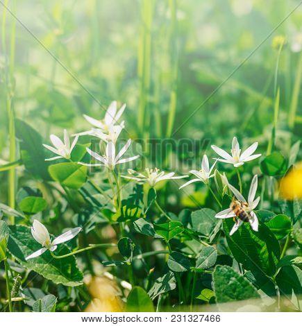 Flowers Birdwort (ornithogalum Arcuatum) In The Grass In The Summer Morning