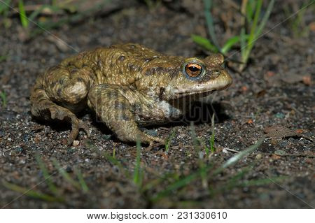 Common Toad (bufo Bufo) Migrating To Breeding Pond