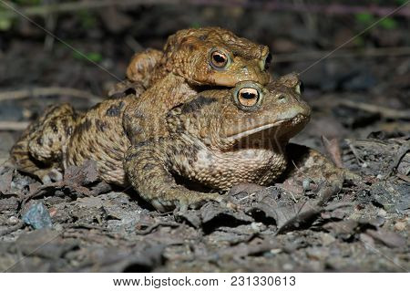 Paired Male And Female Toads Migrating To Breeding Pond