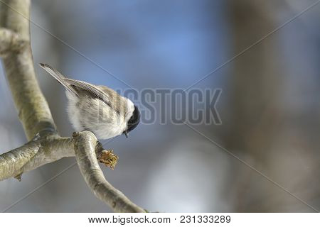 Marsh Tit (poecile Palustris). Marsh Tit (poecile Palustris) In Winter In Frosty Weather