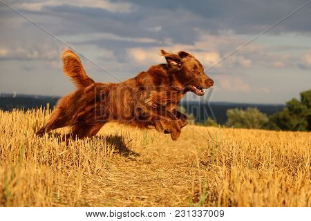 Brown Flat Coated Retriever Is Runnign In A Stubble Field