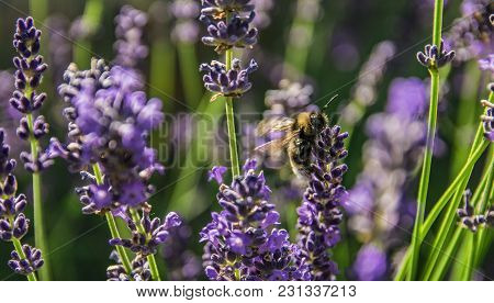 Close Up Picture Of Bee Collecting Nectar.