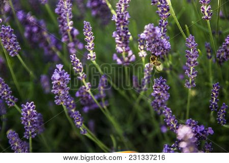 Lavender In Beauty Natural Light And Bee Collecting Nectar.