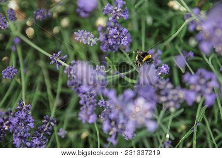 Bumblebee Collecting Nectar On A Lavender Farm.