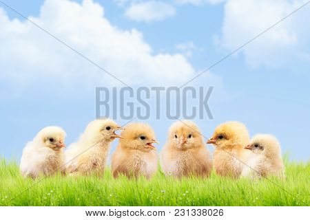 A Lot Of Chickens Communicate With Each Other. Funny And Cute Chicks. The Concept Of A Chicken Farm.