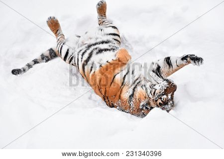 One Young Female Amur (siberian) Tiger Playing And Rolling In Fresh White Snow Sunny Winter Day, Ful