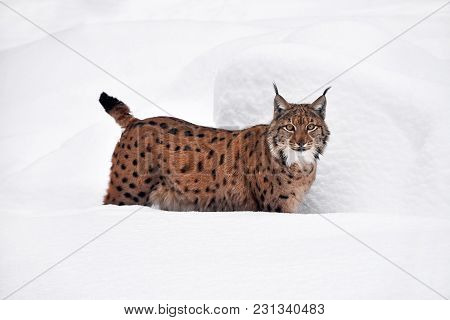 Close Up Full Length Low Angle Side View Of Eurasian Lynx Standing In Deep Winter Snow And Looking A