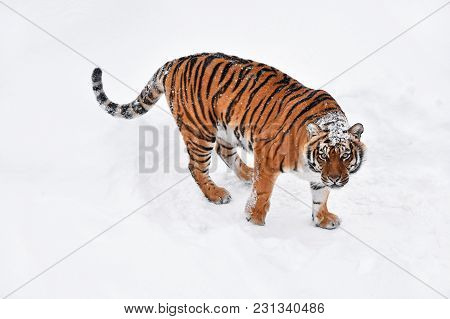 One Young Female Amur (siberian) Tiger Standing In Fresh White Snow Sunny Winter Day And Looking Up