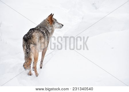 Close Up Full Length Rear View Portrait Of One Grey Wolf Standing In Deep Winter Snow And Looking Aw
