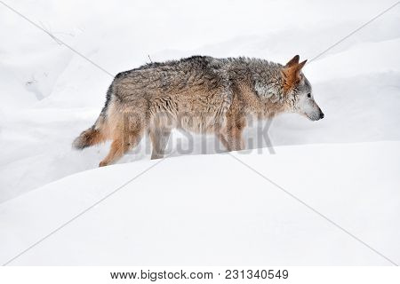 Close Up Full Length Profile Portrait Of One Grey Wolf Walking In Deep Winter Snow And Looking Forwa