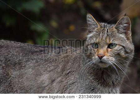 One European Wildcat Front Portrait Close Up