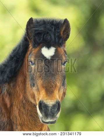 Arabian Gelding With Heart Shaped Star On The Head