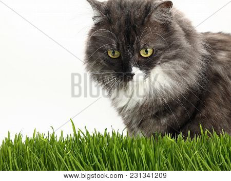 Close Up Portrait Of One Cute Gray Domestic Cat Looking Down Alerted At Fresh Green Grass Over White