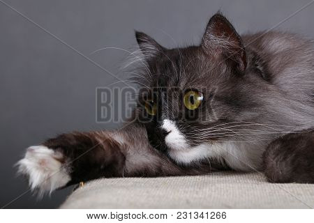 Close Up Side Profile Portrait Of One Cute Gray Domestic Cat With White Spots, Paws And Large Whiske