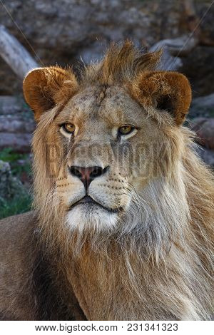 Close Up Portrait Of Young Cute Male African Lion With Beautiful Mane, Looking At Camera, Low Angle
