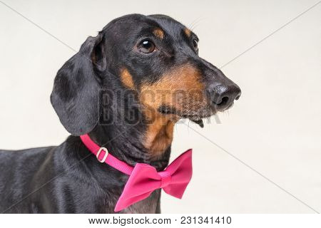 Portrait Of  Elegant Dachshund Dog, Black And Tan, Wearing A  Pink Bow Tie, Isolated On A Gray Backg
