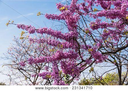 Beautiful Flowering Tree, Pink Flowers Against Blue Sky, Selective Focusing, Spring Flowering