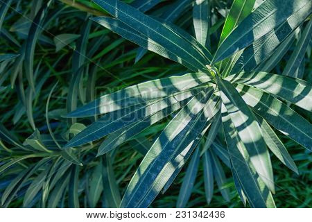 Dark Green Foliage Of A Healthy Plant With Serrated Leaves .  Green Leaf Background. A Tropical Gree