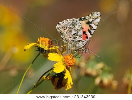 A Butterfly Known As A Painted Lady Feeding On A Yellow Wildflower In Arizona.