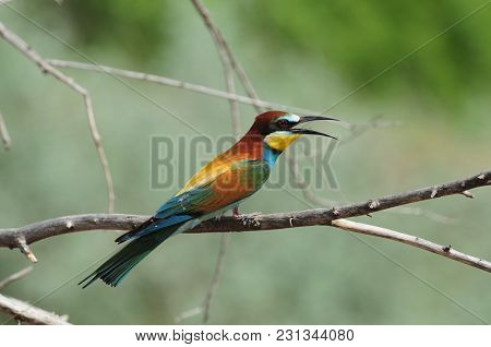 European Bee-eater (merops Apiaster) Sits On A Dry Branch Near Its Burrow During The Breeding Season