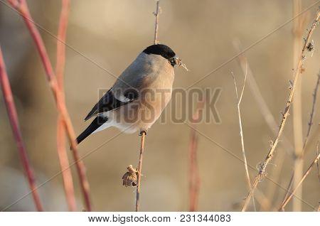 Female Of Eurasian (common) Bullfinch (pyrrhula Pyrrhula) Is Eating Breakfast Under The Morning Wint