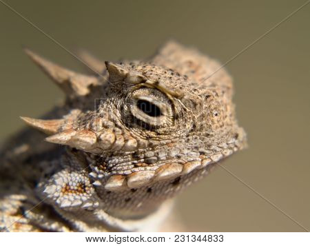 A species of Horned Lizard native to Arizona. Also known as a horned toad, even though it is not a true toad.