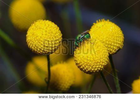 A Macro Photo Of A Tiny Green Jewel Bee Native To Arizona Feeding On Yellow Globular Wildflowers.