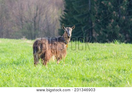 Red Goat Grazing In A Mountain Meadow. Animals