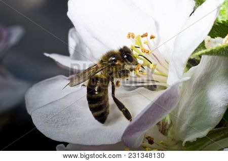 The Bee Collects Pollen On A White Flower Of Blossoming Cherry In The Spring, Collected A Pouch Unde