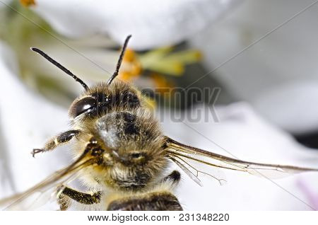 The Bee Collects Pollen On A White Background Of Cherries In The Spring, The Camera, Like A Stands O