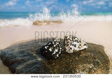 caribbean black shells -  West Indian top shell - on a sandy beach with sea waves