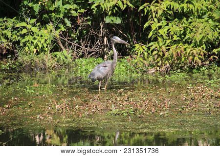 Amazing Great Blue Heron Stalking, Tracking, Hunting, And Fishing On Lake In Sliver Lakes Community