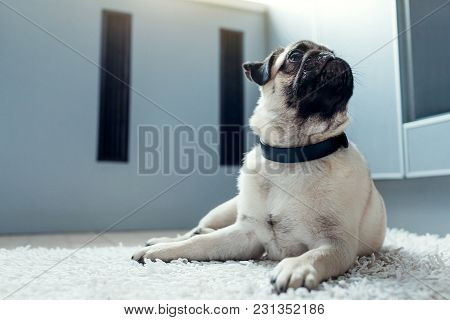 Pug Dog Lying On The Rug And Waiting For Orders Of Its Master On The Kitchen.