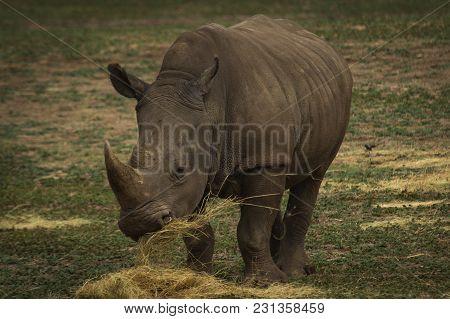 A Large Rhinoceros Feeding On Hay In The Open