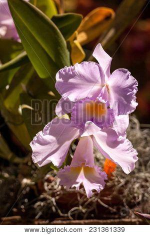 Purple Cattleya Orchid Flower