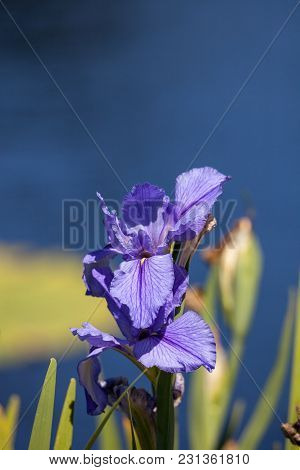 Large Purple Bearded Iris Iris Germanica Flower Blooms In A Water Garden In Naples, Florida