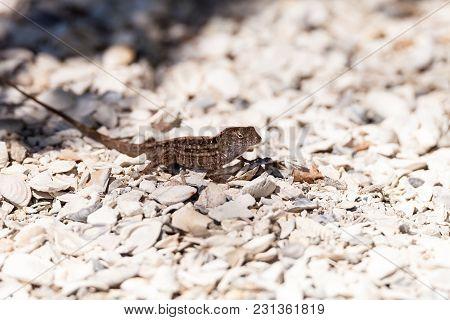 Male Brown Anole Lizard Anolis Sagrei