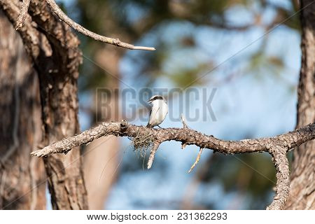 Loggerhead Shrike Bird Lanius Ludovicianus Perches On A Tree In Fort Myers, Florida