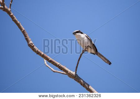 Loggerhead Shrike Bird Lanius Ludovicianus Perches On A Tree