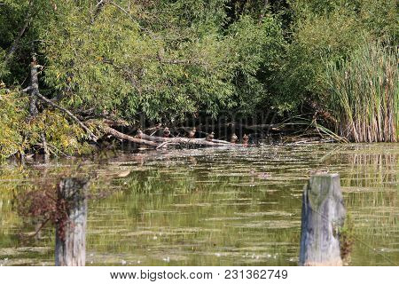 Group Of Ducks On A Log Under The Shade