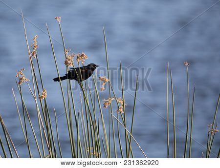 Male Red Winged Blackbird Agelaius Phoeniceus