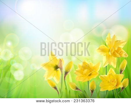 Yellow flower on the field. Daffodils.