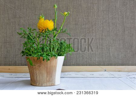Yellow Ranunculus Flower In Ceramic Flowerpot On Table On Gray Background Made Of Flax. Decorative P