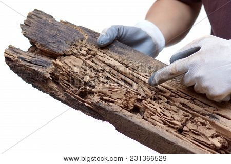 Hand Of A Carpenter Pointing At A Wood Plank Destroyed By Termites Isolated On White