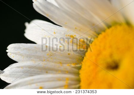 Blooming Chamomile, Beautiful Nature Scene, Summer Background, Selective Focus, Macro Photo