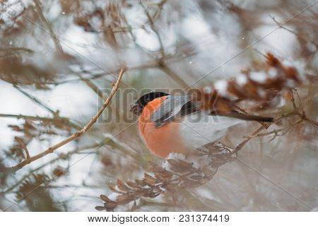 Beautiful Bullfinch Male In Nature In Winter
