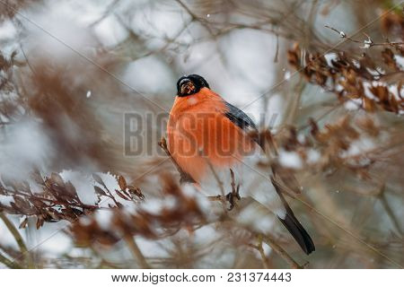 Bird Bullfinch With Red Breast Sits On Tree Branches Covered With Snow In Winter